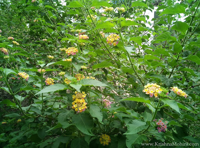 Image: Lantana plant and photos