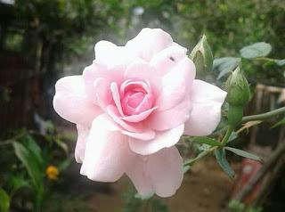 Download Gambar Bunga Mawar Putih