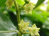 棗(なつめ)の花