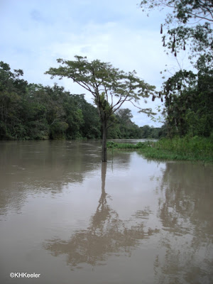 flooded forest, Amazonian Peru