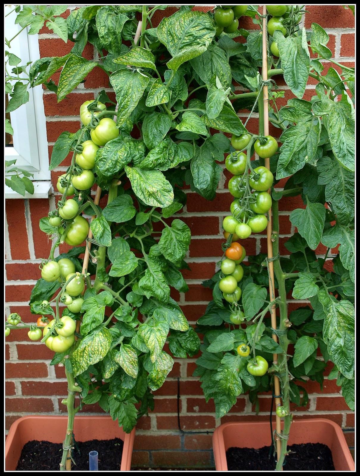 Mark's Veg Plot: I'm harvesting tomatoes