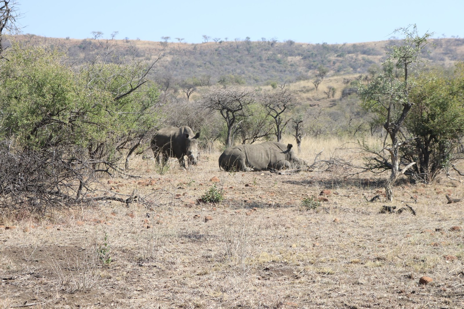 Rhino in the Nambiti Game Reserve, South Africa