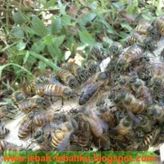 gambar ratu lebah madu foto raja tawon