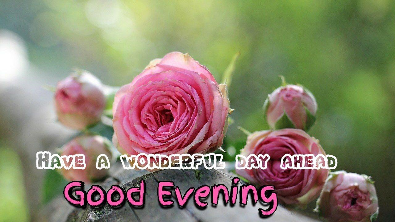 good evening rose images