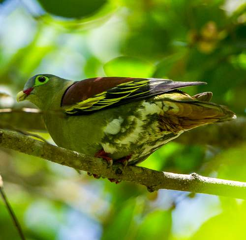 Birds of India - Photo of Thick-billed green pigeon - Treron curvirostra