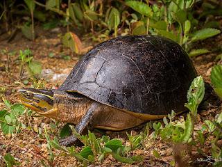 ternak-kura-kura-ambon.jpg