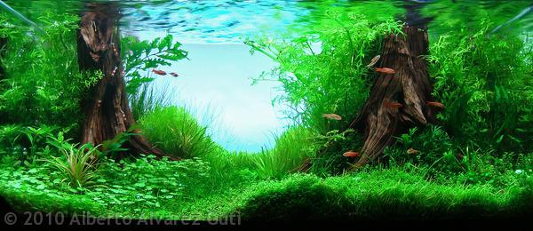 thủy cúc dễ trồng, lá xanh đẹp mắt được trồng hậu cảnh trong hồ thủy sinh