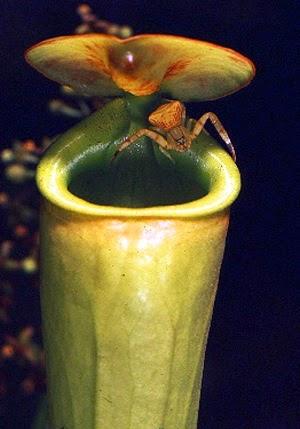 symbiotic relationship between pitcher plant spider