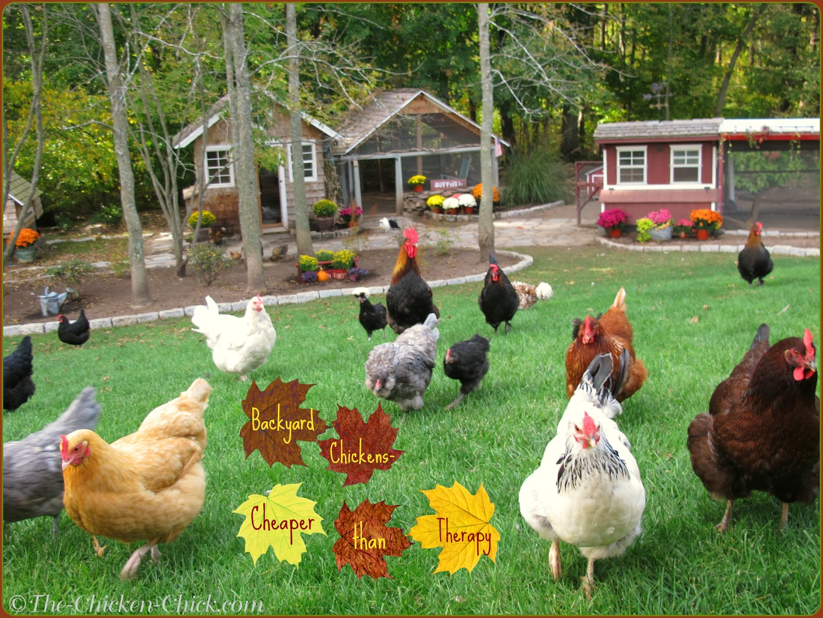 Tips for Selecting Chicken Breeds-The Breed I Need! | The ...