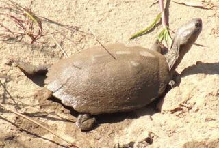 pan hinged terrapin