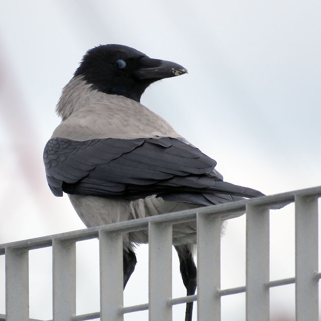 Hooded crow on a fence, Porto Mediceo, Livorno