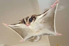 Sugar Glider melayang