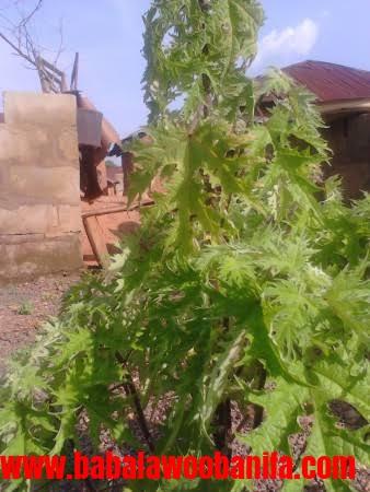 BABALAWO OBANIFA: SPIRITUAL FERTERLIZER FOR FARMING