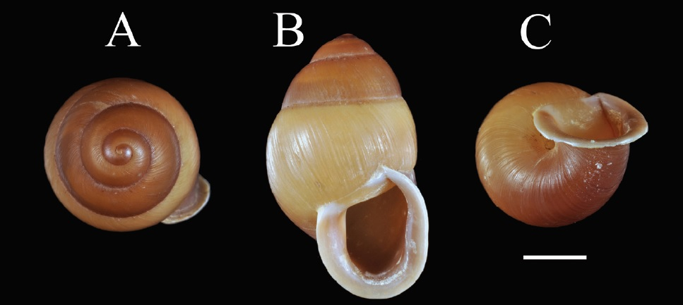 A new species of Partulid Snail from Palau