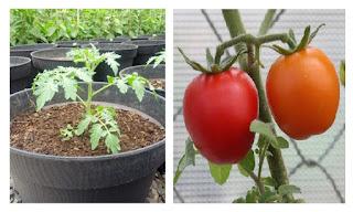 Cara Mudah Menanam Tomat dalam Polybag atau Pot