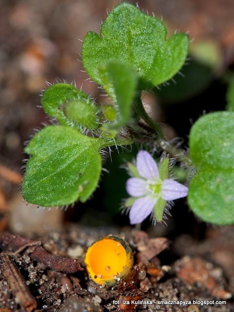 kielonki blyszczace, grzybki, wiosna, kolorowe grzyby, zolte czarki, las bemowski, grzybobranie, grzybowe znaleziska, grzybnieta
