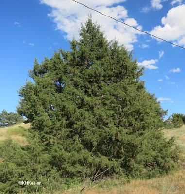 red cedar, Juniperus