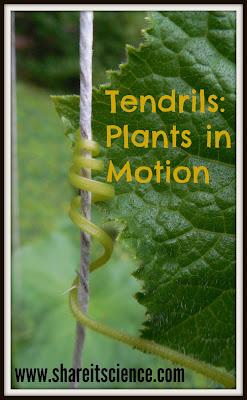 http://www.shareitscience.com/2015/07/glimpse-of-garden-week-16-tendrils.html