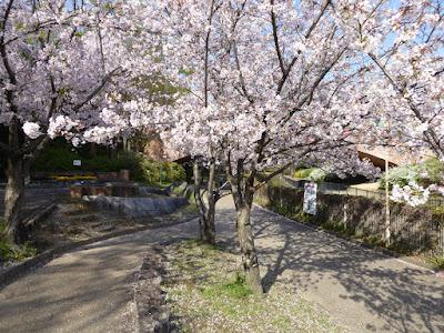 寝屋川公園の桜 花の道