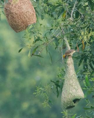 Baya Weaver (Ploceus philippinus)