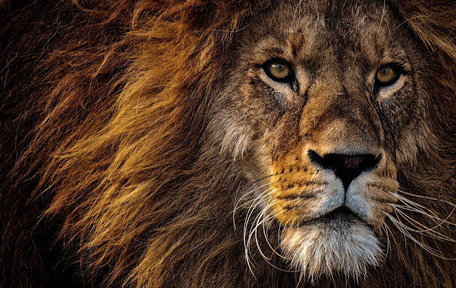 facts about lion, lion facts, liuon facts in hindi, interesting facts lion