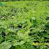 Giảo Cổ Lam: Cây thảo dược quý cho sức khỏe con người