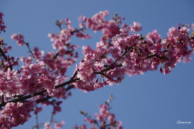 伊豆・河津櫻祭,在天氣晴好陽光朗照的日子,可以清楚地看出光線從河津櫻的花瓣透過,形成不同深淺地層次。