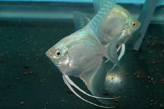 Budidaya Ikan Manfish