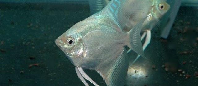 Budidaya Ikan Manfish (Ikan Bidadari) dengan Pakan Alami Cepat Besar