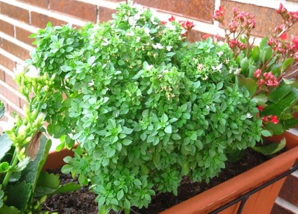 Las hierbas aromaticas for Tipos de hierbas medicinales