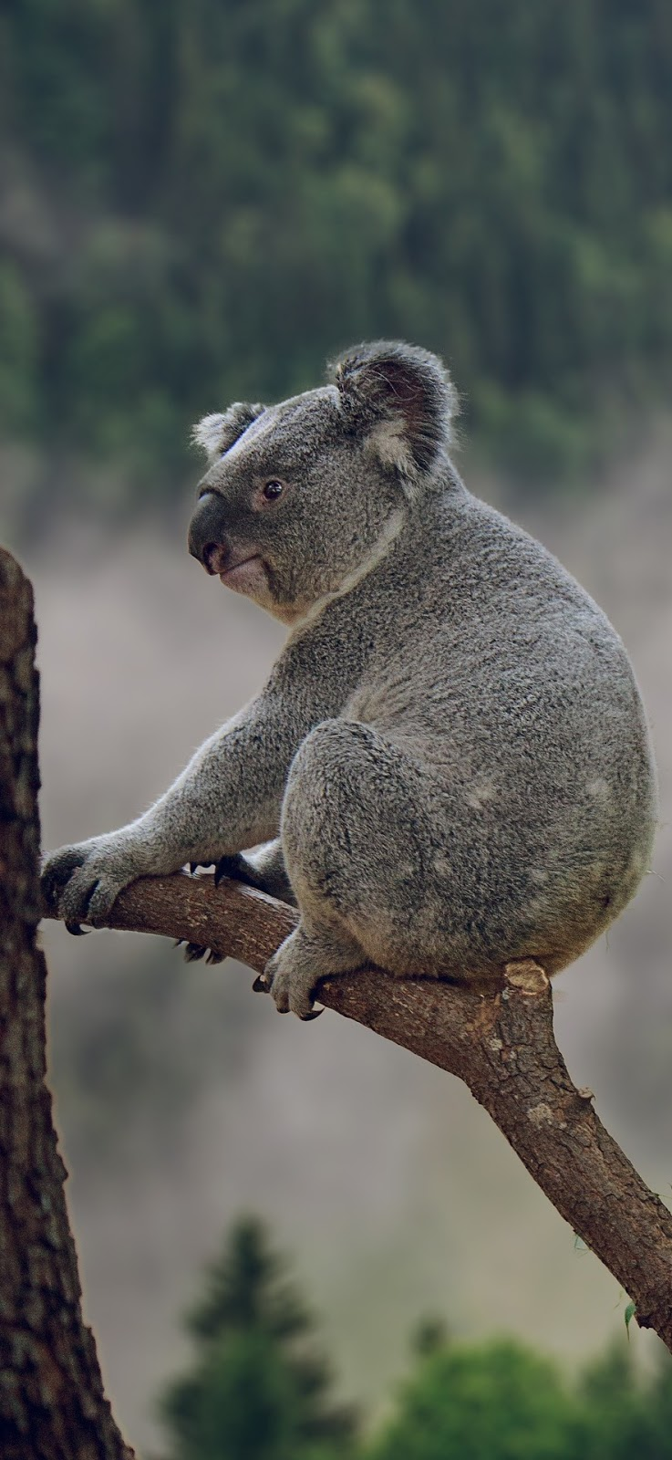 Picture of a cute koala bear.