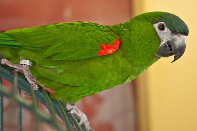 Hahn's Macaw Mini