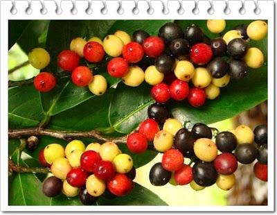 Manfaat buah buni untuk kesehatan tubuh