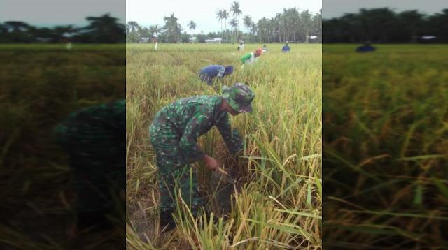 Panen Padi Berlangsung dengan Cepat di Dusun 4 Air Hitam