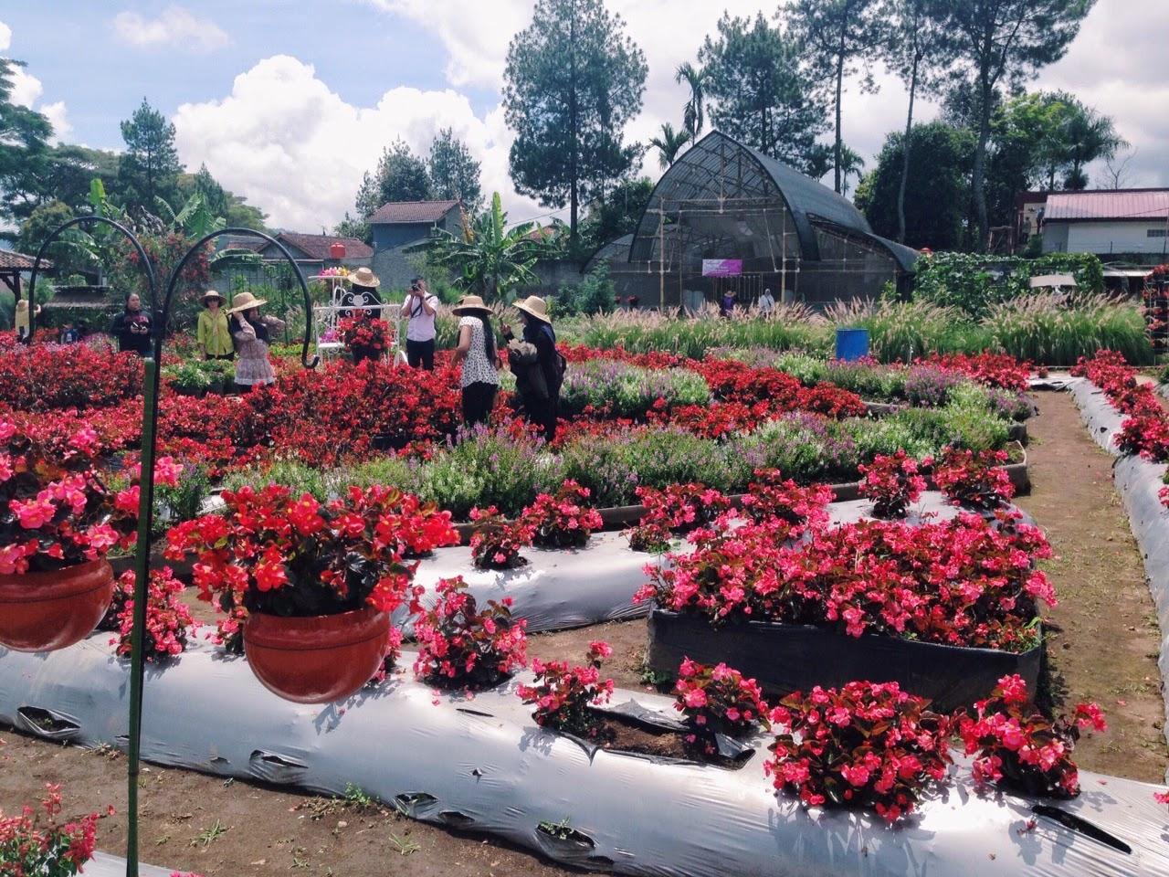 MINTS  Kebun Bunga Begonia Lembang Bandung