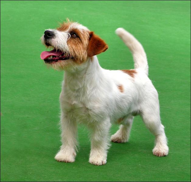 Jack Russell Terrier Australian Dog Lover
