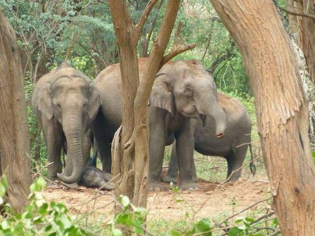 elephants sauvage kerala