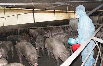 Cán bộ Chi cục thú y tỉnh Đồng Nai đang lấy mẫu xét nghiệm chất cấm tại một trại chăn nuôi. Ảnh: BN