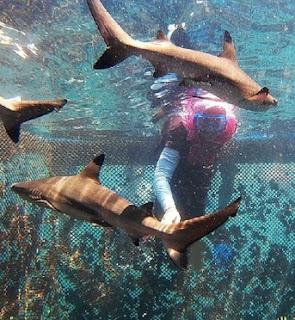 Ikan hiu rumah apung banyuwangi