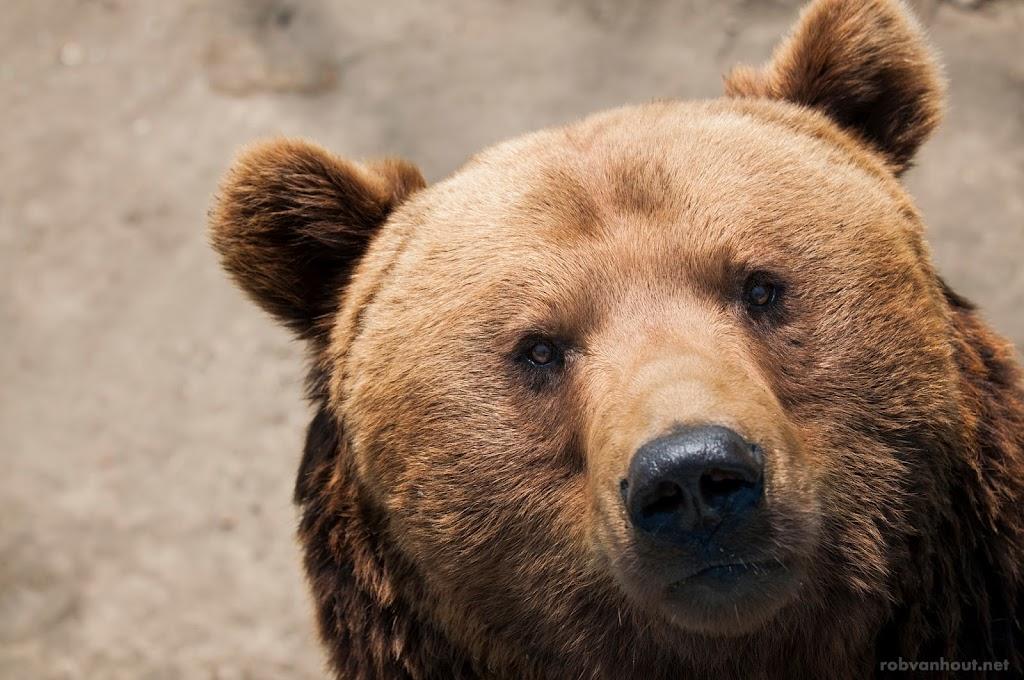 <b>Brown Bear</b> Olmense Zoo