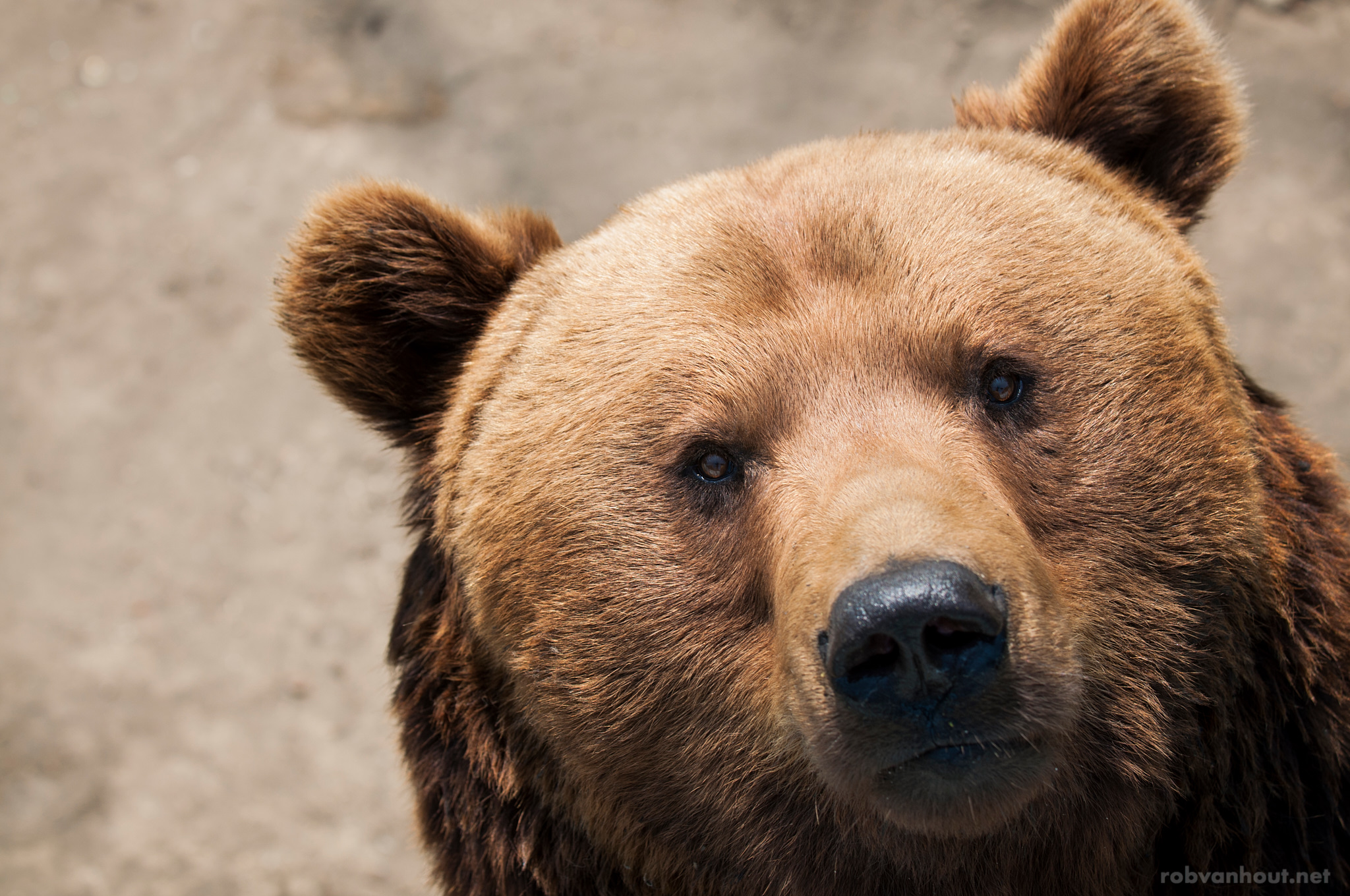 Brown Bear — Olmense Zoo