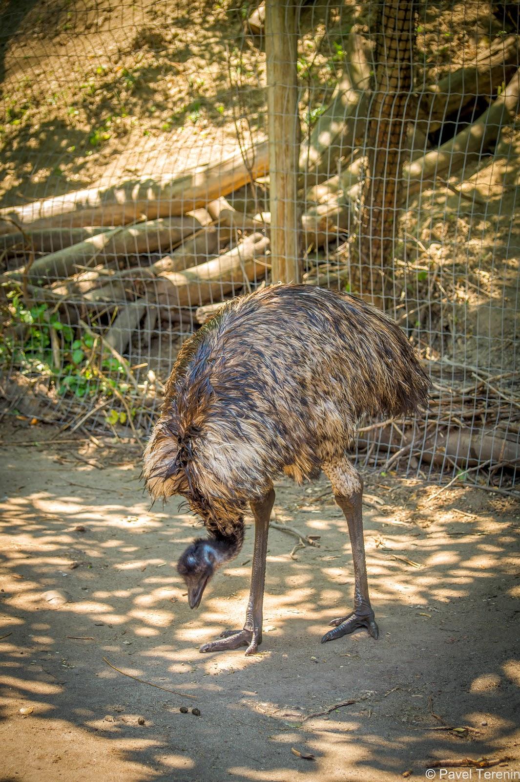 Эму - самая крупная птица Австралии, вторая по величине после африканского страуса