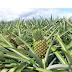 Productores de Piña de Monte Plata exportarán al mercado  europeo