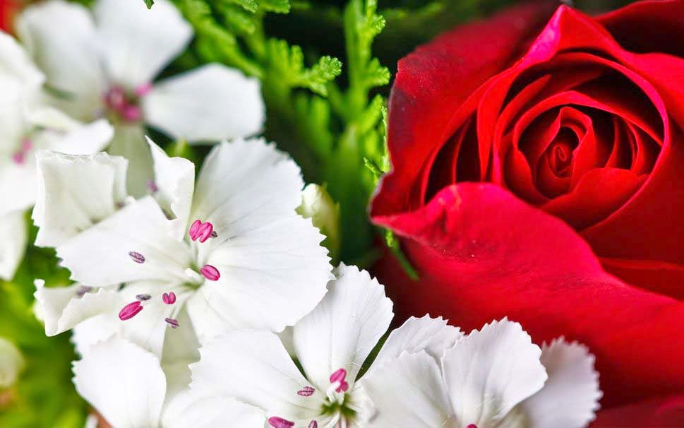 beautiful-flowers-rose