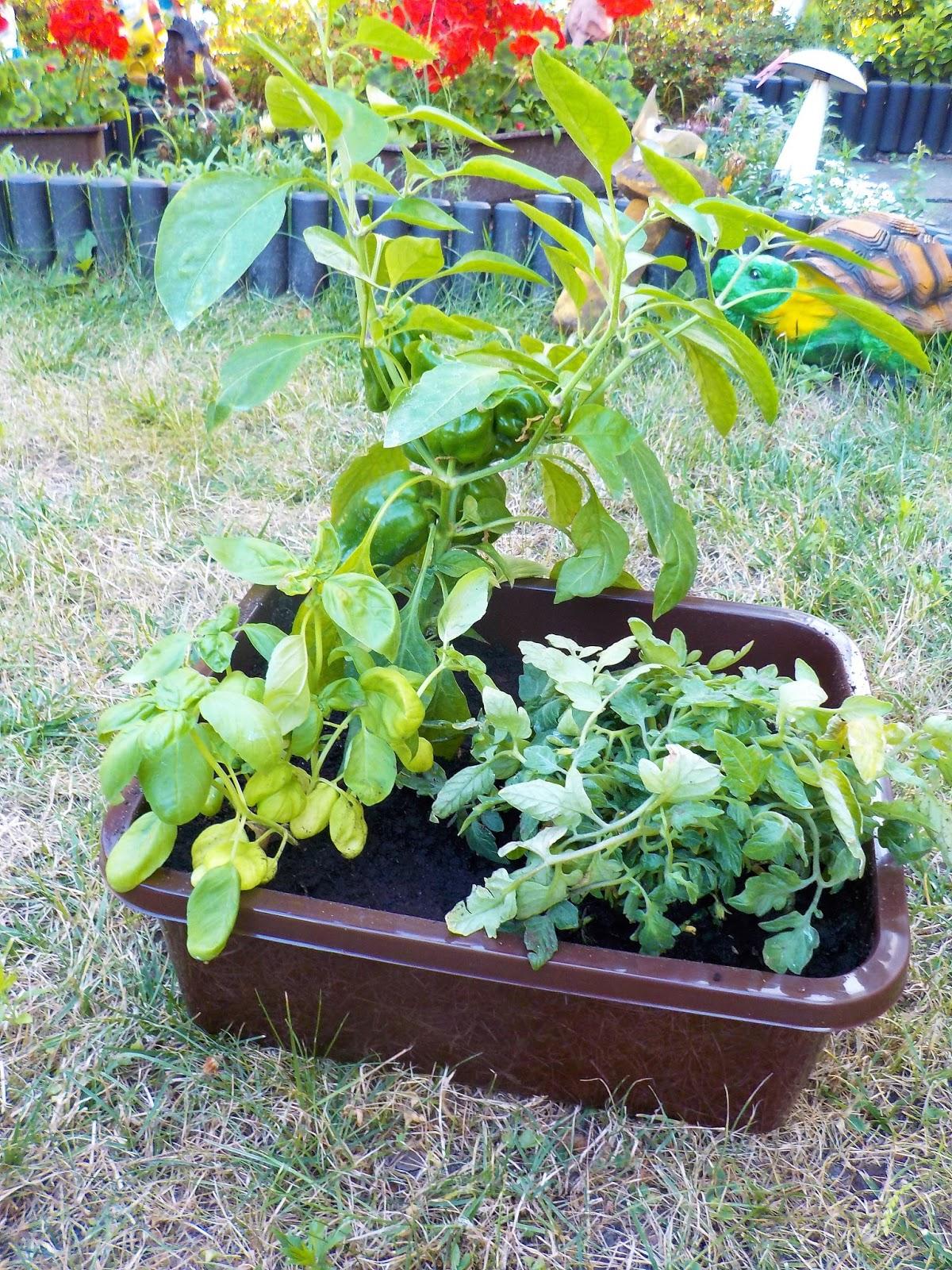 Warzywny Ogródek W Doniczce