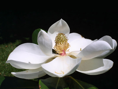 Download Car Wallpapers For Laptop Wallpapers Southern Magnolia Flower Wallpapers