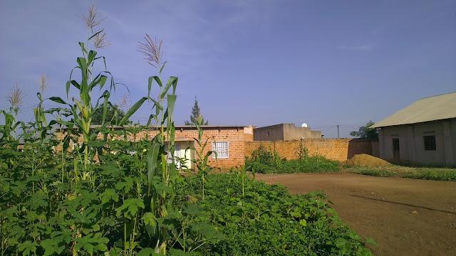 farine de maïs, crise
