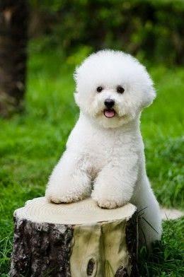 3 Top Bichon Puppy