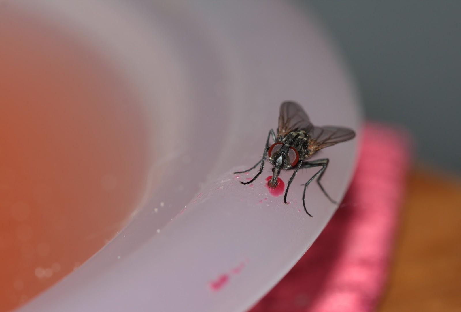 Picture of a housefly feeding.