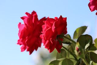 Gambar Rangkaian Bunga Mawar 2 Tangkai